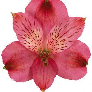 Alstroemeria Hot Pink Marian
