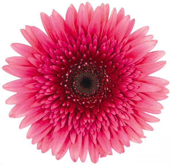 Gerbera Pink-Hot Mariatta (Dark Center)