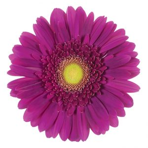 Gerbera Pink-Hot Marimba (Light Center)
