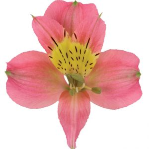 Alstroemeria Bicolor Pink Modena