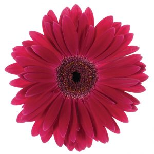 Gerbera Pink-Hot Monetta (Dark Center)