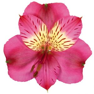 Alstroemeria Pink-Hot Navarro