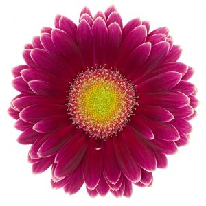 Gerbera Mini Pink-Hot Noud (Light Center)