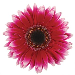 Gerbera Pink-Hot Nuance (Dark Center)