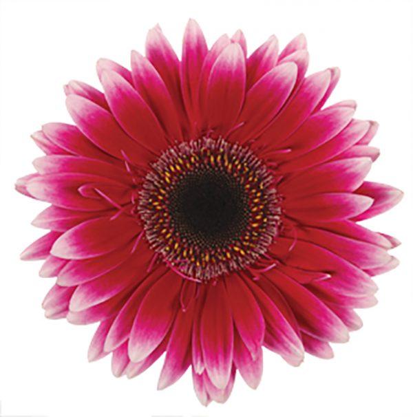 Gerbera Pink-Hot Nuance (Dark Center)