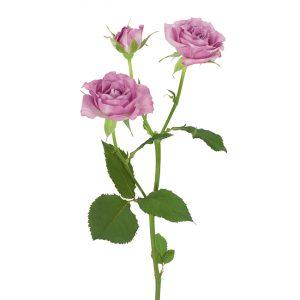 Roses Spray Lavender Ocean Mikado