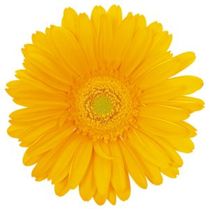 Gerbera Yellow Panama (Light Center)