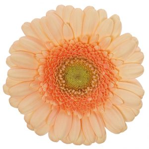 Gerbera Mini Cream Pelican (Light Center)