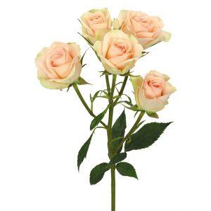 Roses Spray Peach Petite Chablis