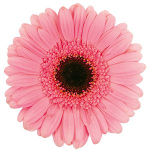 Gerbera Mini Pink-Light Petticoat (Dark Center)