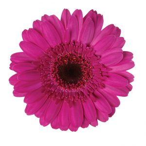 Gerbera Mini Purple Picture Perfect (Dark Center)