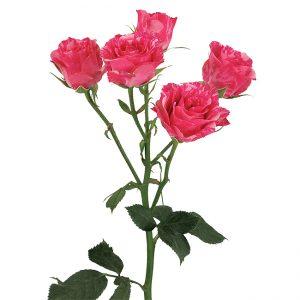 Roses Spray Pink-Bicolor Pink Flash