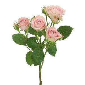 Roses Spray Pink Pink Irischka