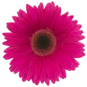 Gerbera Pink-Hot Pizazz (Dark Center)