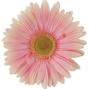 Gerbera Pink-Light Plot (Light Center)