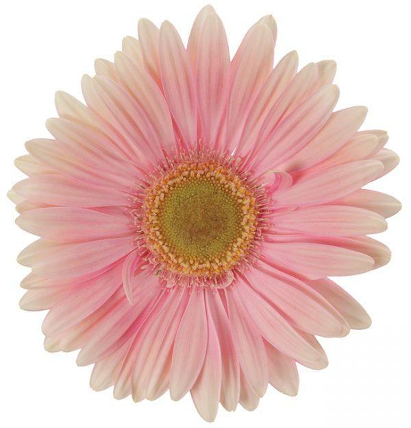 Gerbera Pink-Light Plot (Light Center)
