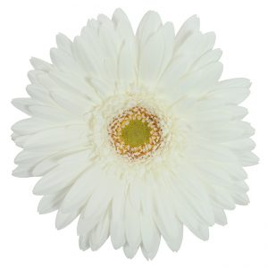 Gerbera White Pole Ice (Light Center)