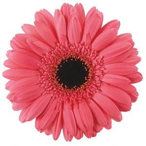 Gerbera Pink Pre-Intenzz (Dark Center)