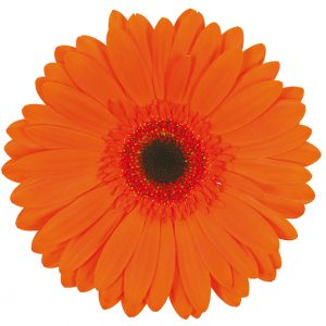 Gerbera Orange Prestige (Dark Center)