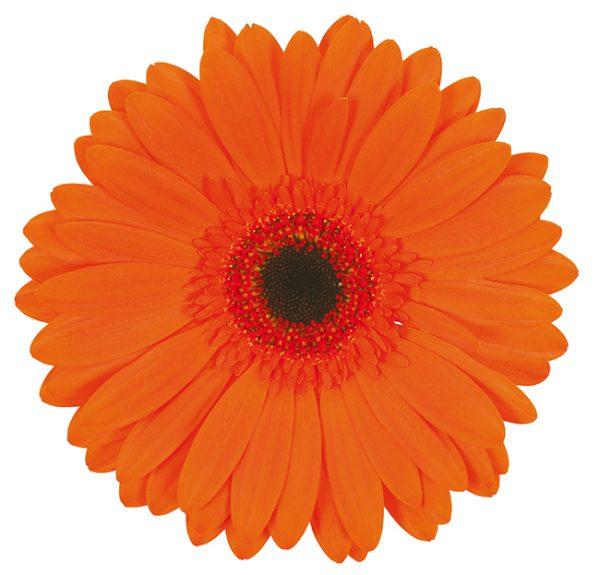 Gerbera Orange Prestige (Dark Center)