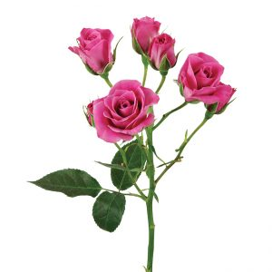 Roses Spray Lavender Purple Sky