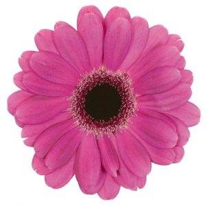 Gerbera Mini Pink-Hot Rapido (Dark Center)