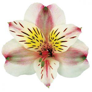 Alstroemeria Bicolor Pink Rebecca