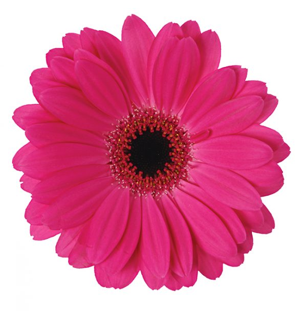 Gerbera Pink-Hot Rich (Dark Center)