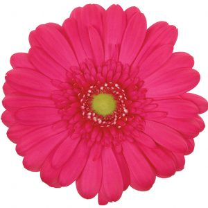 Gerbera Pink-Hot Rihanna (Light Center)