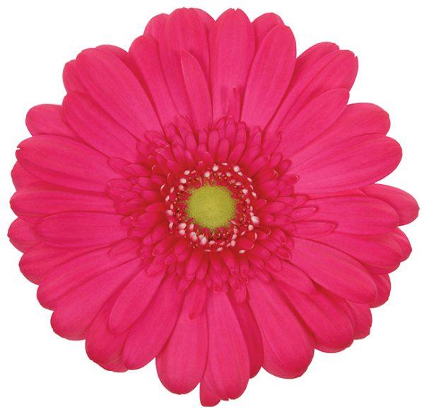 Gerbera Pink-Hot Rihanna (Light Center)
