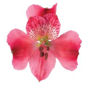 Alstroemeria Hot Pink Rome
