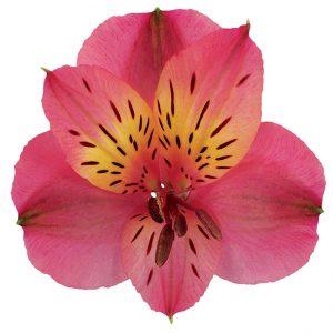 Alstroemeria Hot Pink Rosita