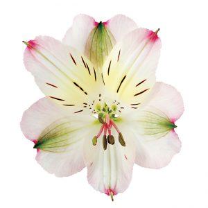 Alstroemeria Pink-Bicolor Rossini