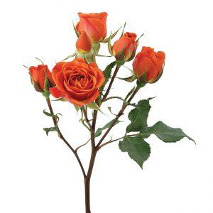 Roses Spray Orange Royal Flash