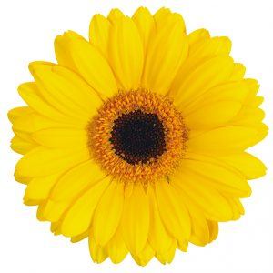 Gerbera Mini Yellow Sailor (Dark Center)