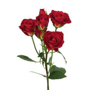 Roses Spray Novelties Salsa