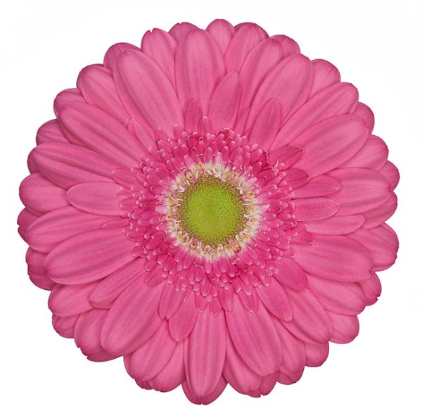 Gerbera Pink-Hot Samara (Light Center)
