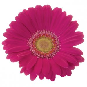 Gerbera Mini Pink-Hot Senna (Light Center)