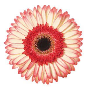Gerbera Red/White Sorbet (Dark Center)