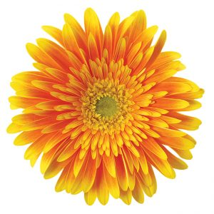 Gerbera Orange Souvenir (Light Center)