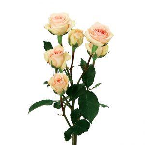Roses Spray Pink-Light Star Blush