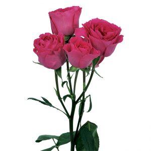 Roses Spray Pink-Hot Super Nova