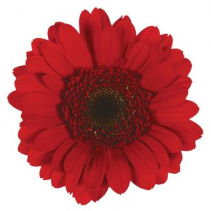 Gerbera Mini Red Suri (Dark Center)