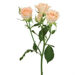 Roses Spray Pink Sweet Sarah