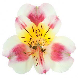 Alstroemeria Peach-Bicolor Sylvan