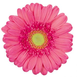 Gerbera Mini Pink-Hot Sympathy (Light Center)
