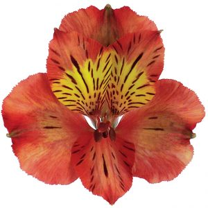 Alstroemeria Orange Tampa