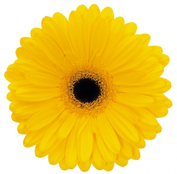 Gerbera Yellow Tess (Dark Center)
