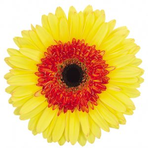Gerbera Yellow/Red Toast (Dark Center)