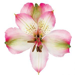 Alstroemeria Pink Vanity
